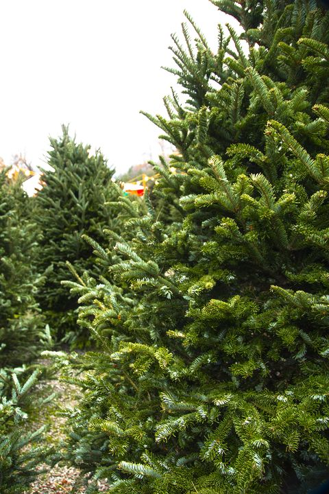 Christmas Tree Farms Near Me 30 Best Christmas Tree