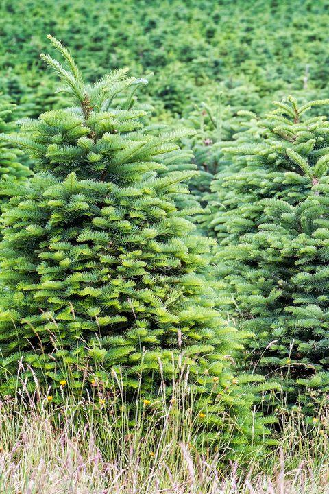 Christmas Tree Farms Near Me - The Best Christmas Tree ...