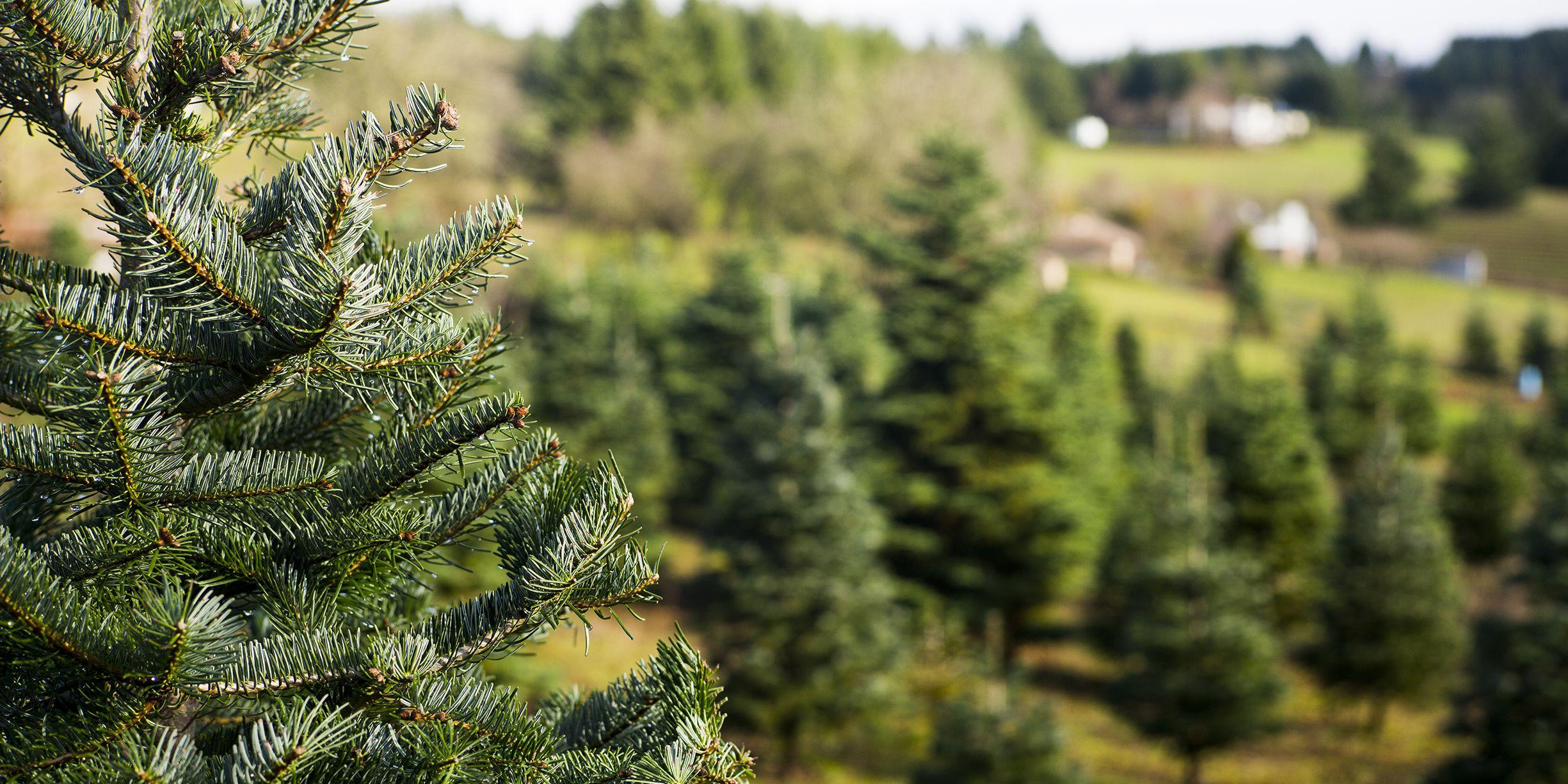 Christmas Tree Farm Asheville Nc.Christmas Tree Farms Near Me 30 Best Christmas Tree Farms