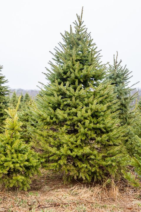 christmas tree farms near me big john leydens