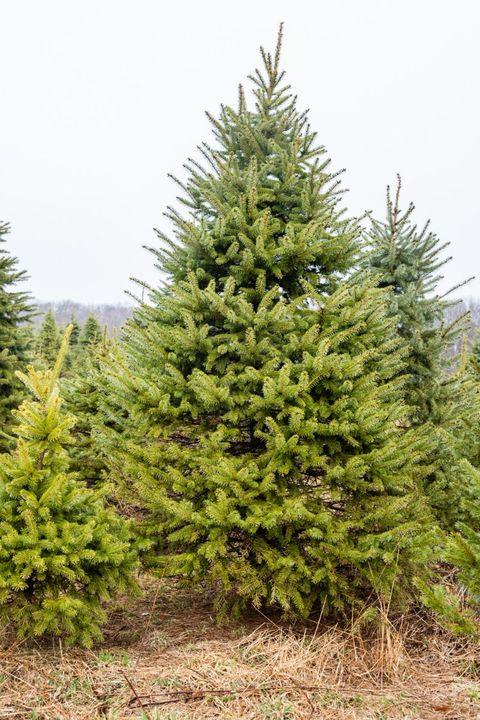 christmas tree farms near me big john leydens