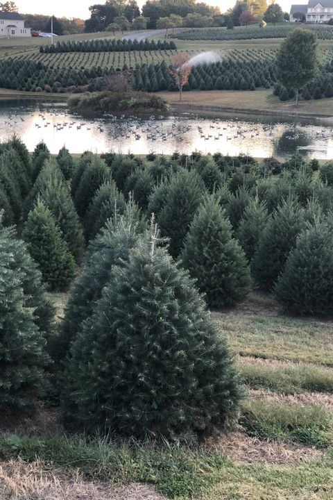 christmas tree farms near me pine valley farms