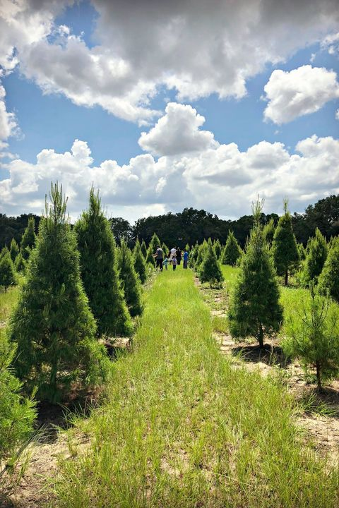christmas tree farms near me santas christmas tree forest