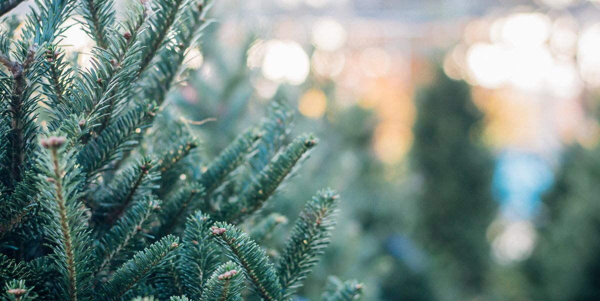 Real Christmas Tree Guide - Types of Real Christmas Trees ...