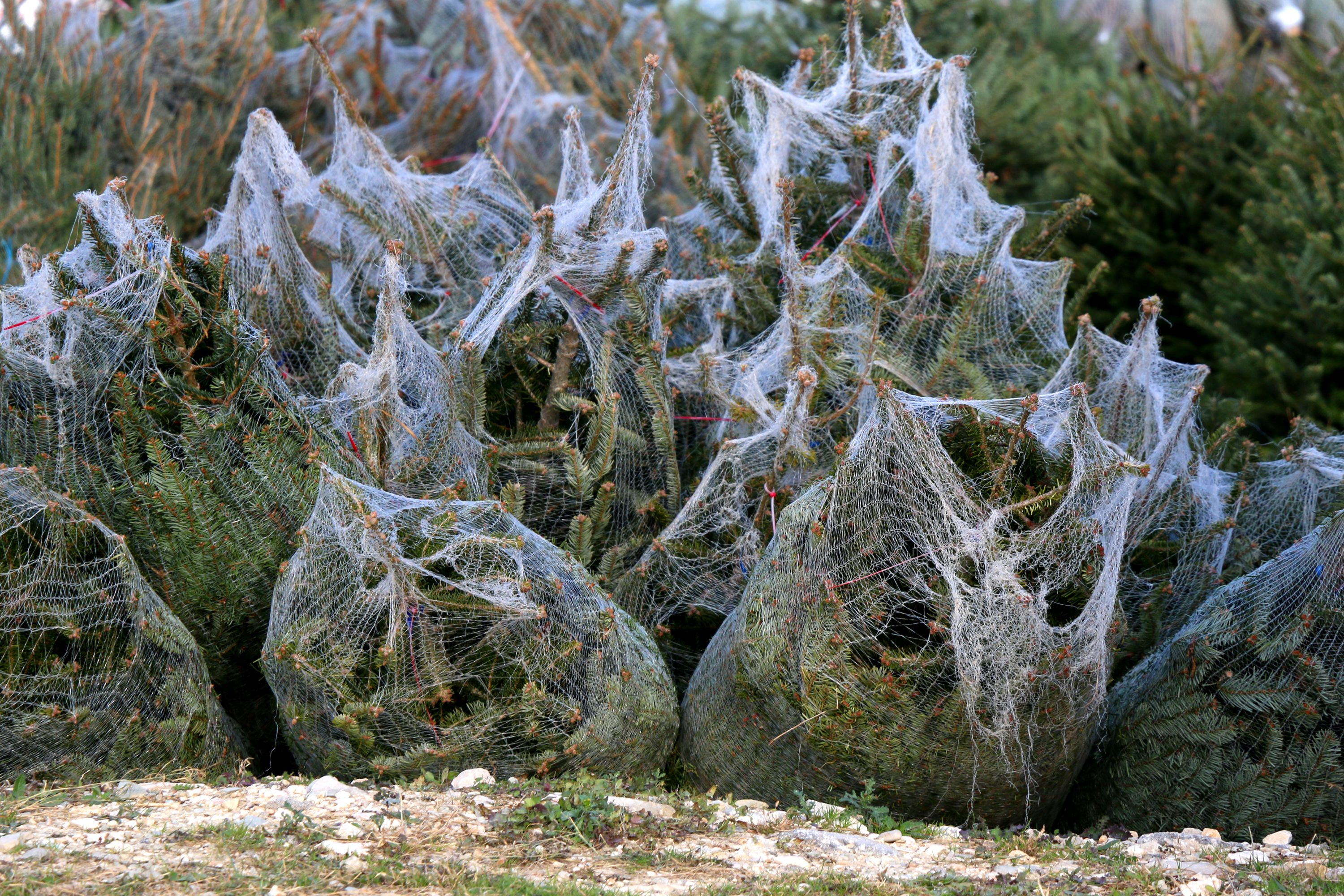 Christmas Tree Aphids.6 New Pests Diseases Pose Uk Threat To Imported Christmas
