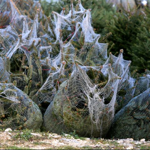 Christmas Cactus Diseases.6 New Pests Diseases Pose Uk Threat To Imported Christmas