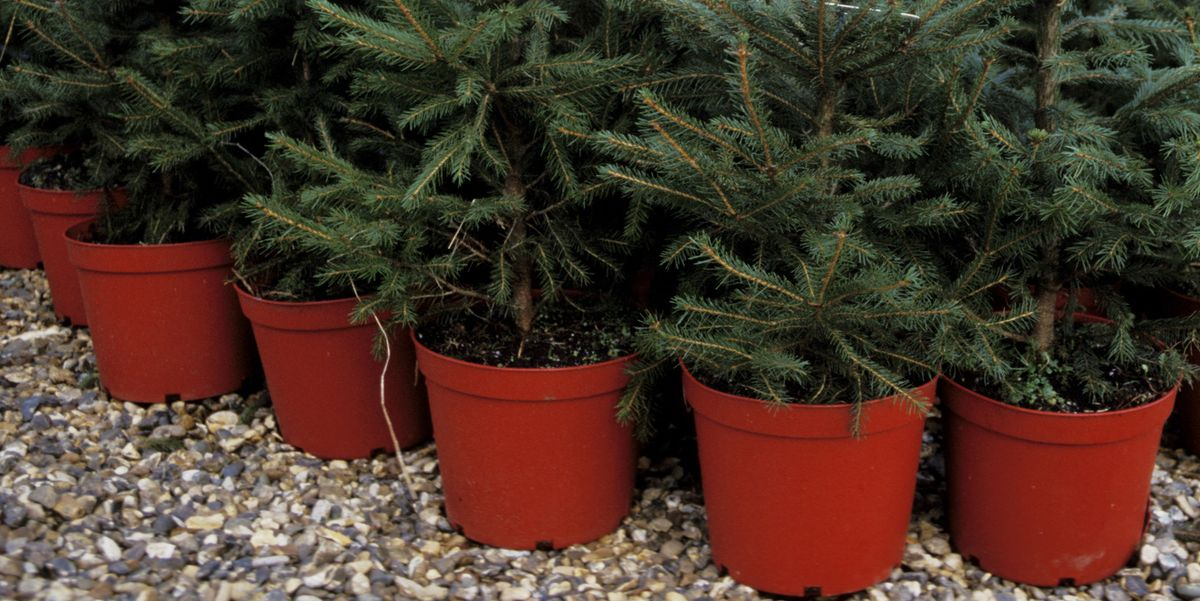 Caring For A Potted Christmas Tree Real Christmas Trees In Pots
