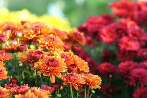 nature chrysanthemum