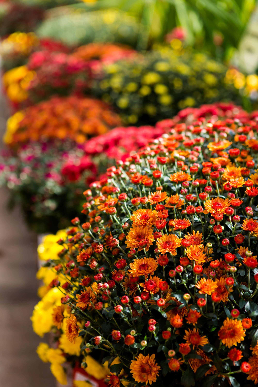 Merveilleux Chrysanthemum Flowers