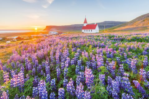 Church and Lupine field in summer, Iceland