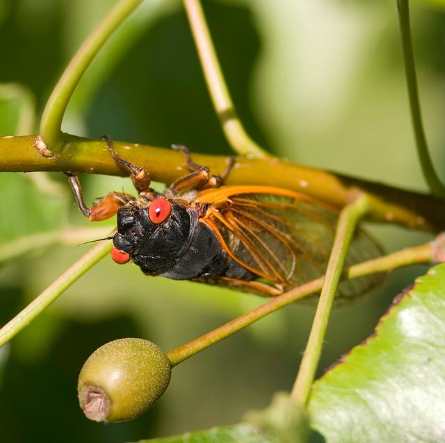 17year cicada in tree