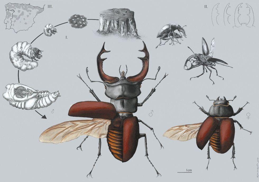 Escarabajo ciervo volante