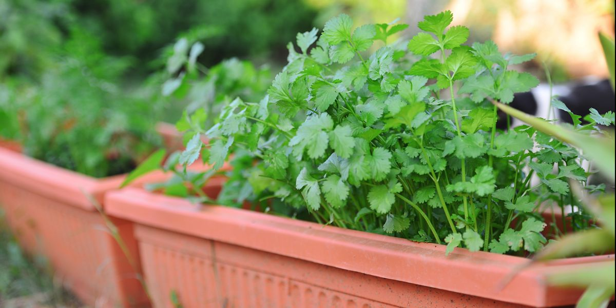 If You Want to Grow Cilantro, You Should Wait Until Summer's Over