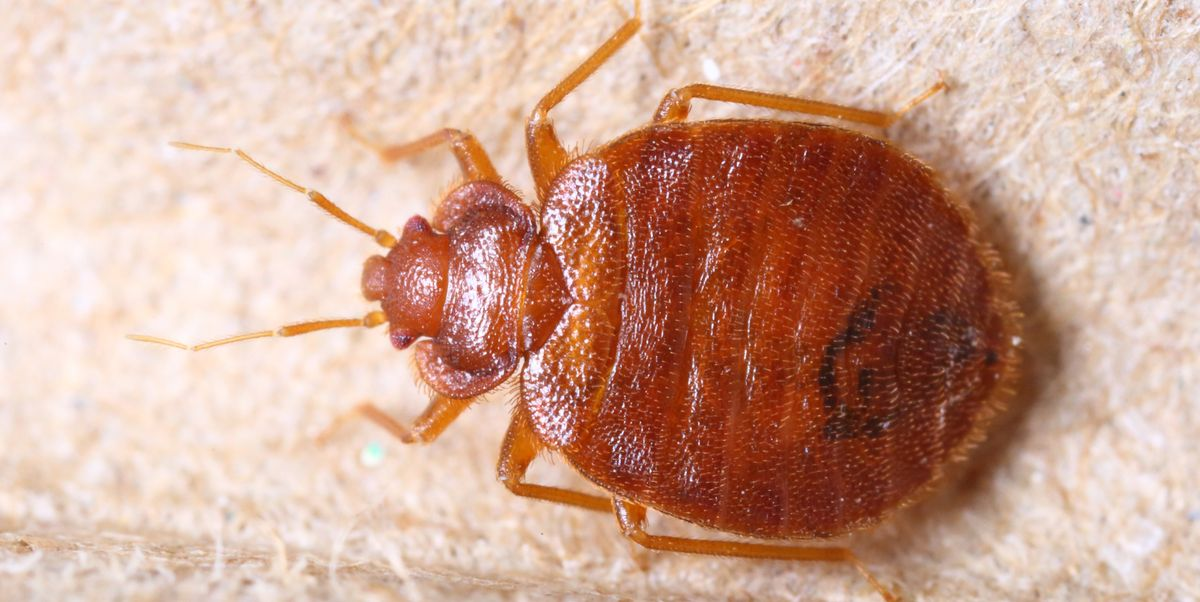 Best Way To Kill Bed Bugs, How To Get Rid Of Bed Bugs Sofa