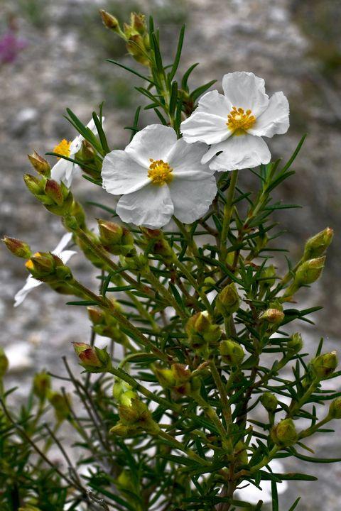 Cistus plant