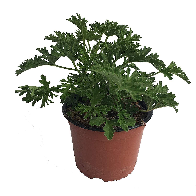 Planta antimosquitos Citronella