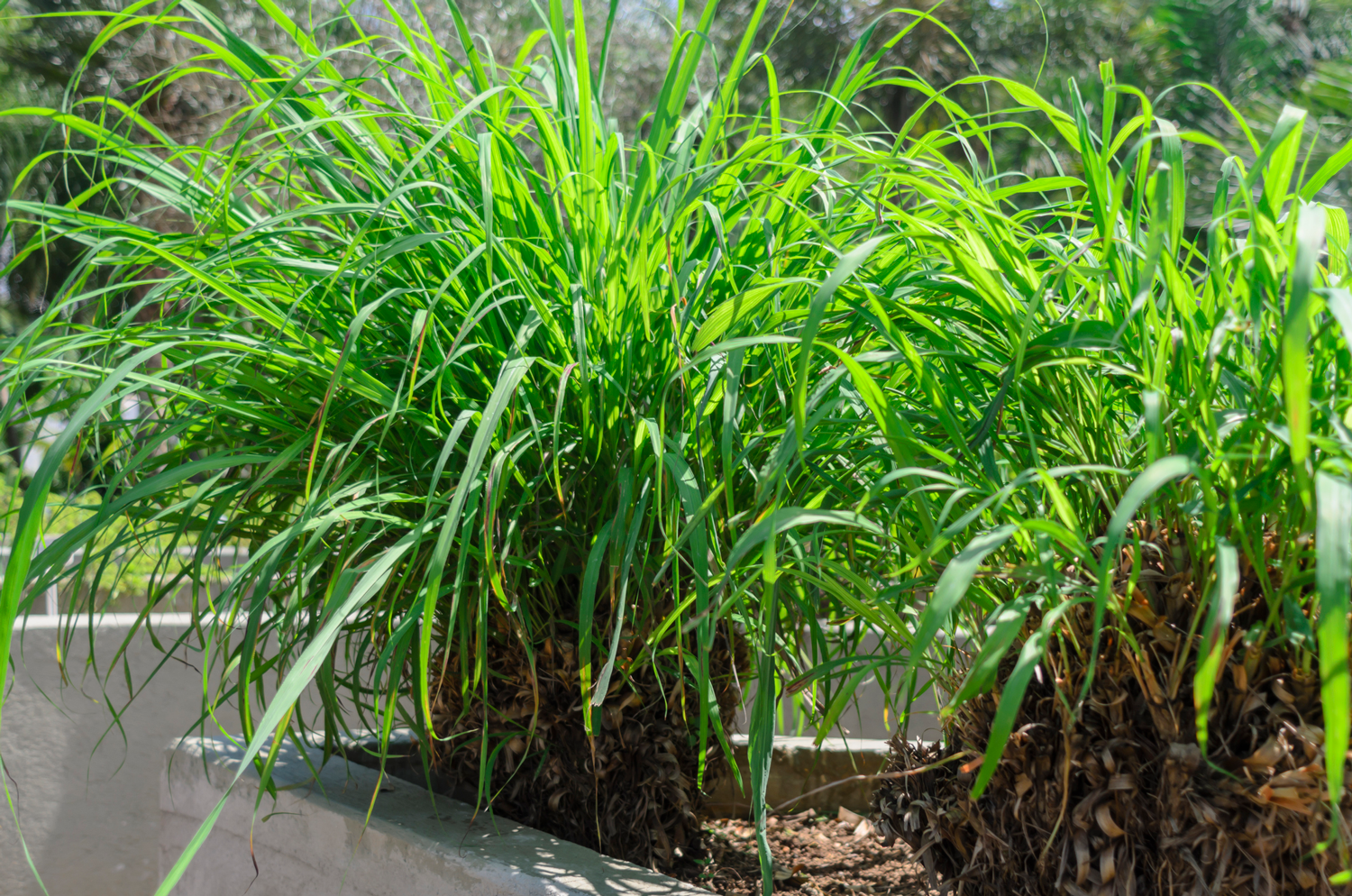 Citronella Plants For Mosquitoes Do They Work As A Repellent