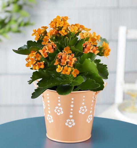 citrus kalanchoe plant