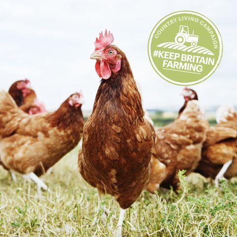 Chicken, Bird, Rooster, Comb, Fowl, Poultry, Galliformes, Grass, Livestock, Beak,