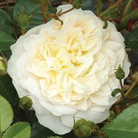 Potted Rose - Perpetually Yours