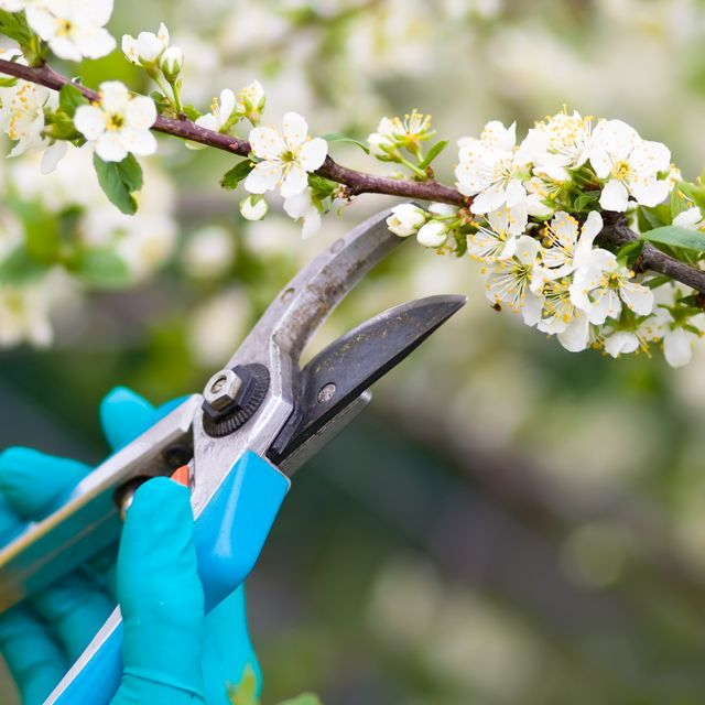 Clippers being used to prune bushes