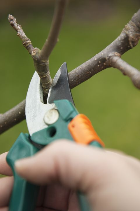 clippers pruning