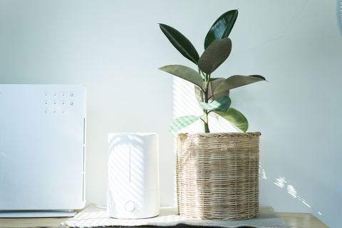 close up air humidifier machine with air purifier indian rubber tree with light from window