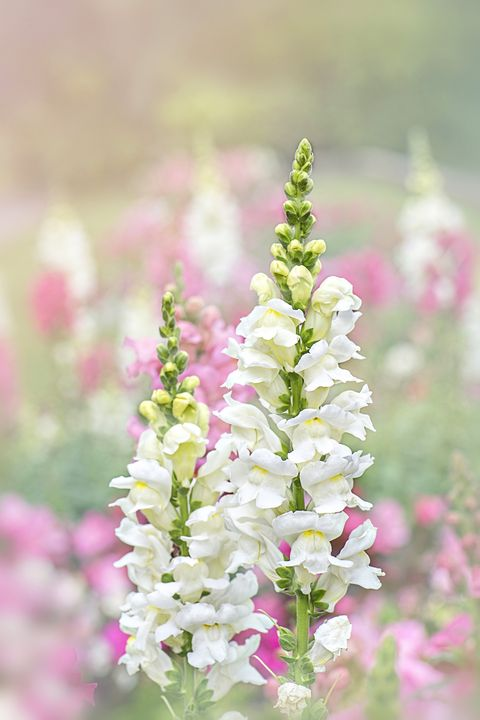 flower meanings -  snapdragons