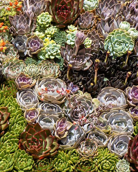 close up, full frame image of beautiful sempervivum plants also known as houseleeks, liveforever and hen and chicks