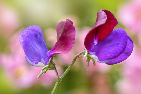 closeup image of a beautiful red and purple sweet pea flower lathyrus odoratus