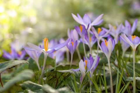 close up image of pretty little spring flowering purple crocus flowers