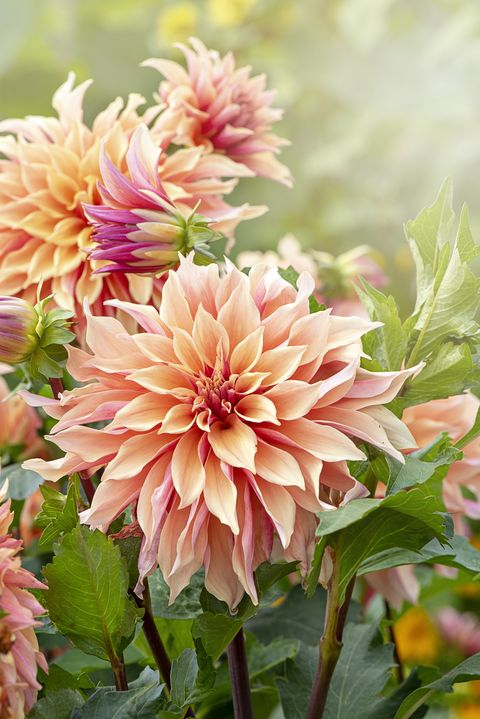 close up image of the beautiful peach coloured decorative dahlia flower also known as a dinner plate dahlia