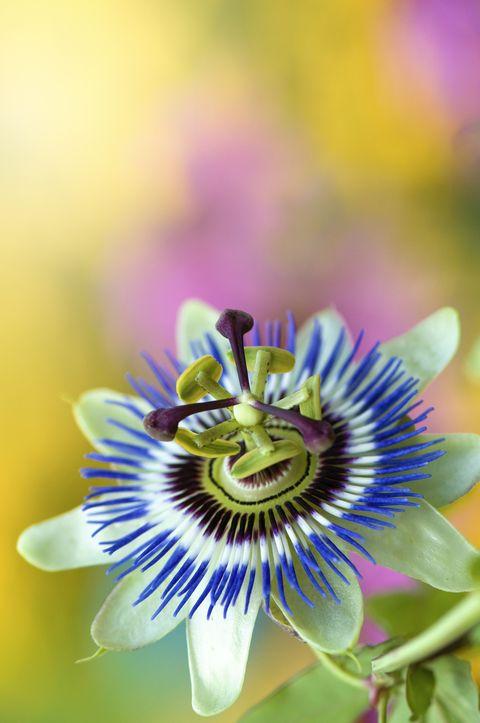 flowering vines blue crown