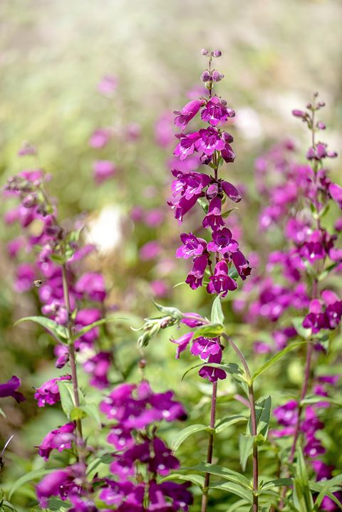 Close-up image of the beautiful summer flowering vibrant pink flowers of the Penstemon also known as beardtongues