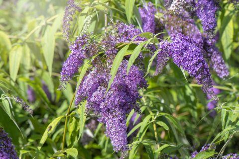 Image en gros plan de la belle floraison d'été Buddleja, ou Buddleia fleurs violettes également connu sous le nom de buisson aux papillons