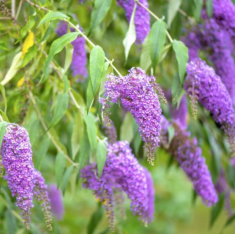 close up image of the beautiful summer flowering buddleja, or buddleia, commonly known as the butterfly bush purple flower