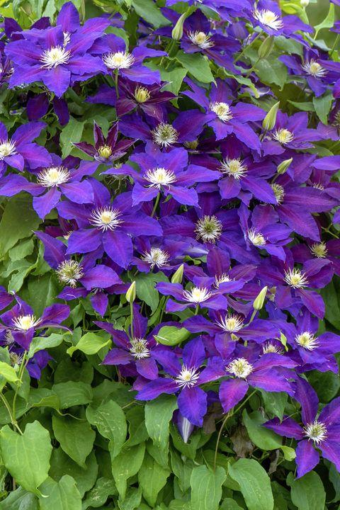 close up image of the beautiful summer flowering climbing clematis 'warszawska nike' on a garden trellis