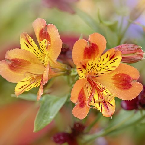 close up image of the beautiful, vibrant orange flowers of the alstroemeria, commonly called the peruvian lily or lily of the incas