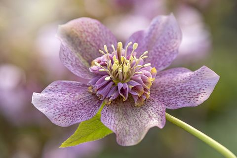 Close-up image of the spring flowering Hellebore x hybridus 'Tutu' also known as the Lenten Rose of Christmas Rose.