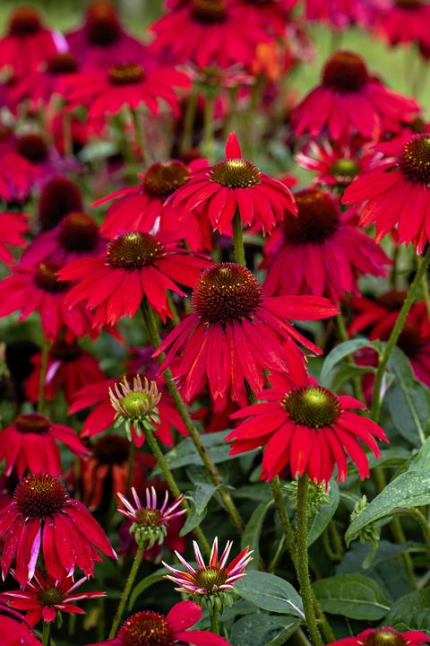 Close-up image of the vibrant red Echinacea 'Salsa red' also known as Coneflowers
