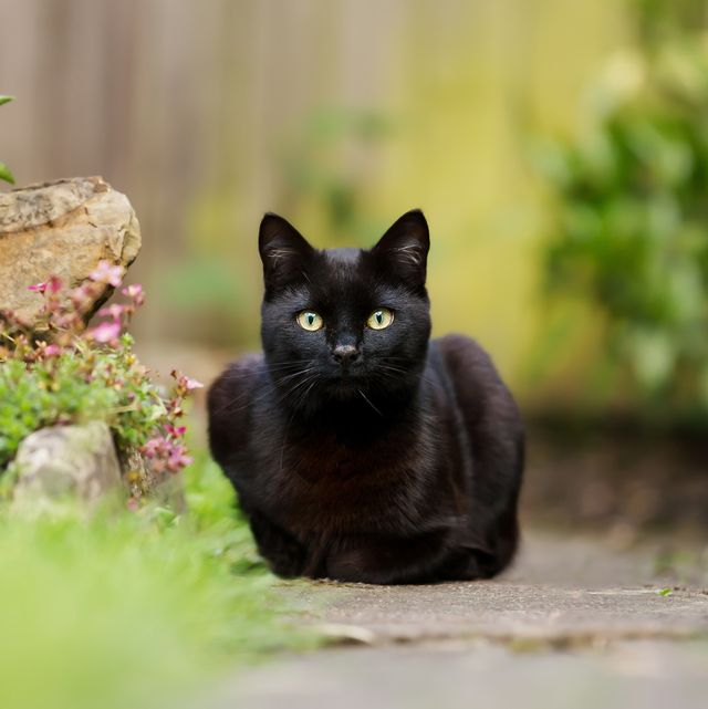 close up of a black cat lying in the garden