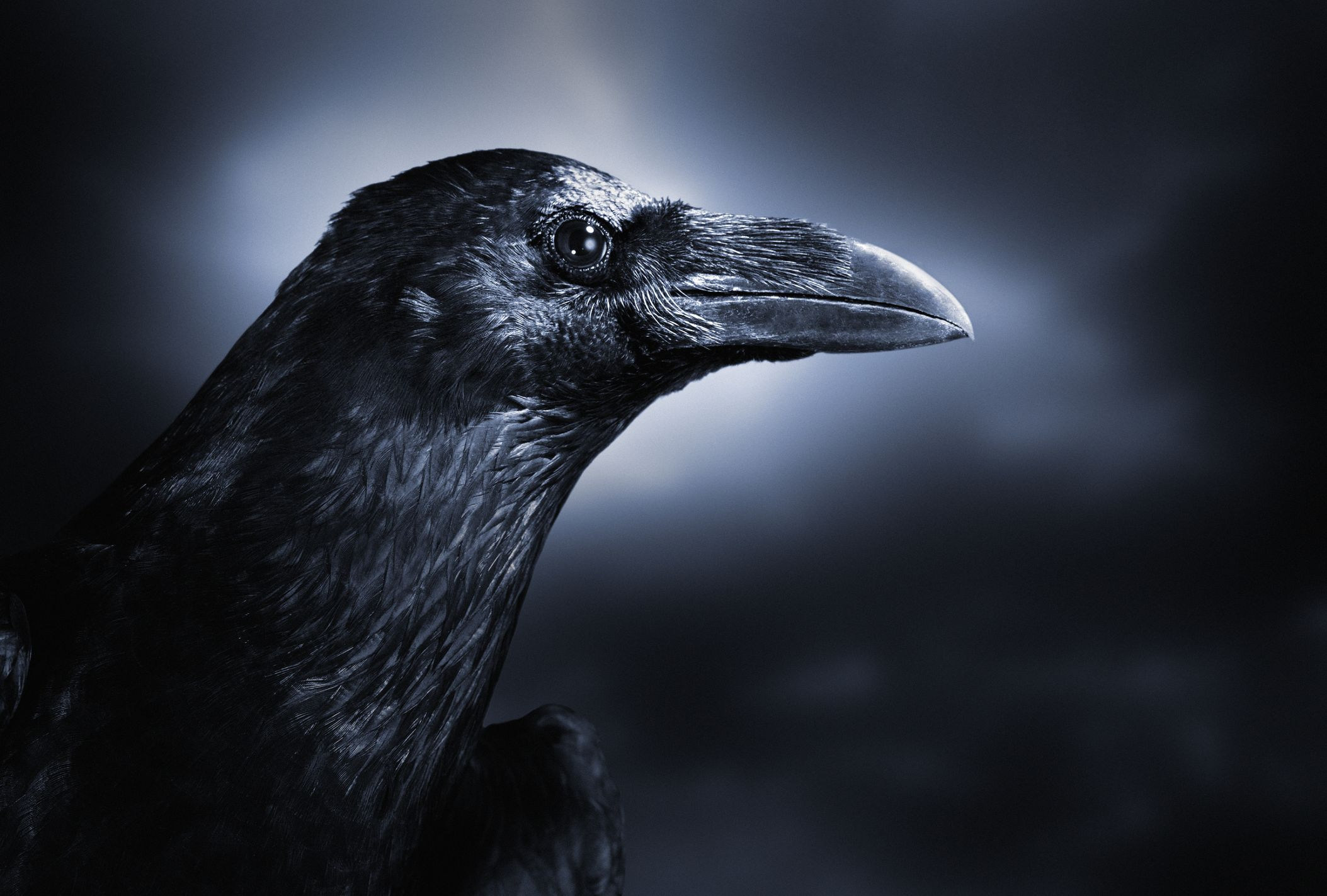 Crows Are Self-Aware and 'Know What They Know,' Just Like Humans