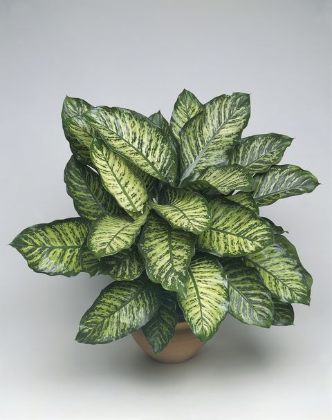 Close-up of a Dieffenbachia (Dieffenbachia seguine candida)