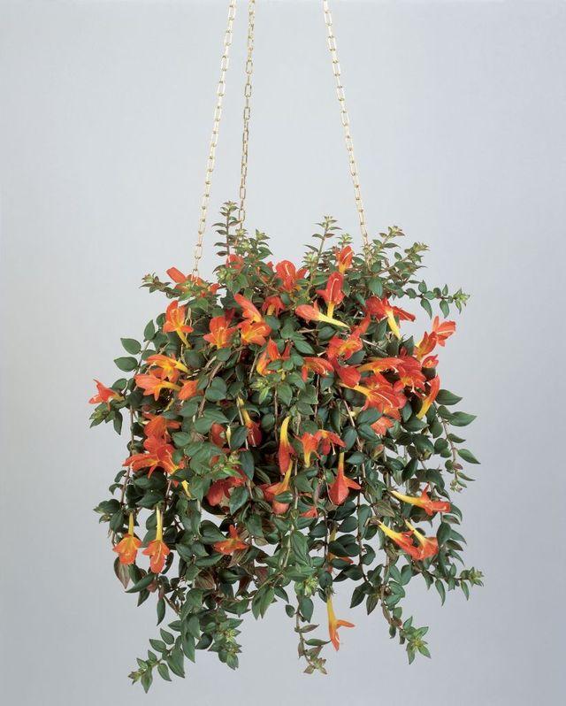 close up of a hanging potted plant of goldfish vine columnea banksii