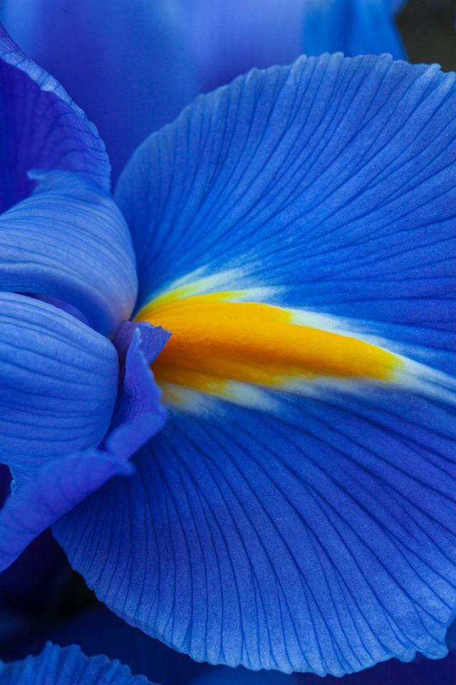 close up of a purple iris flower