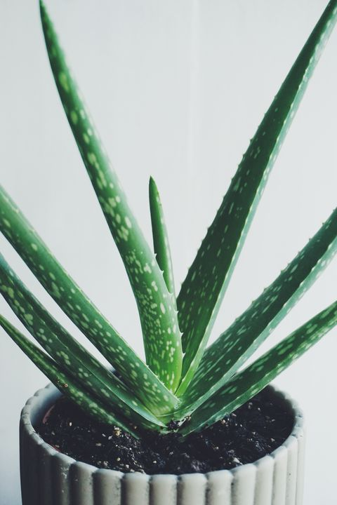Close-Up Of Aloe Vera Plant Against Wall