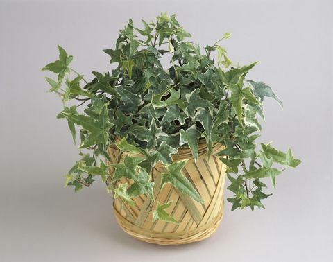 Close-up of an English Ivy plant growing in a pot (Hedera helix)