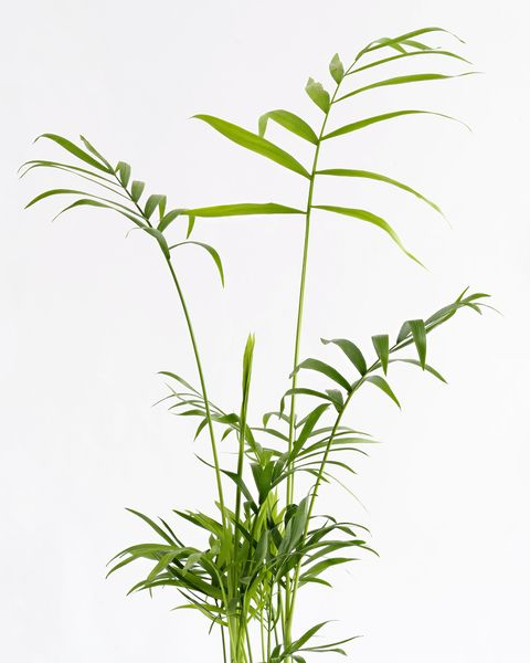 Close-Up of Areca (Chrysalidocarpus lutescens), Arecaceae in a flowerpot on a white background cut-out.