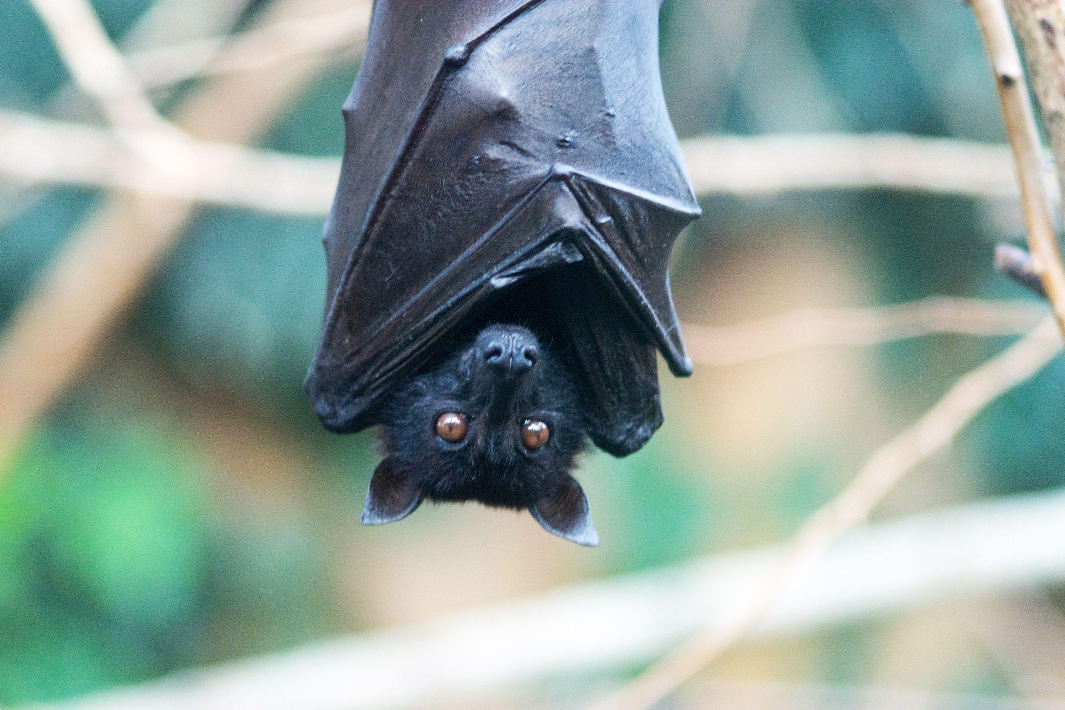Male bats sing.
