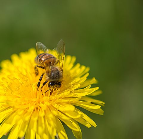 Close-Up Of Bee Pollinating On Yellow Dandelion